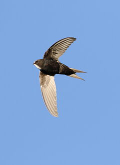 White-rumped swift, Apus caffer, at Suikerbosrand Nature Reserve, Gauteng, South Africa (22725855413)
