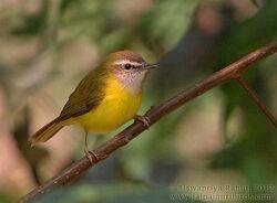 Yellowbelliedwarbler