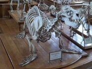 500px-Otaria flavescens skeleton