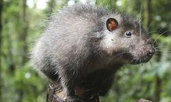 Bosavi-Woolly-Rat-001