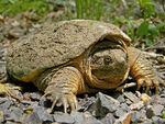 Common Snapping Turtle Close Up