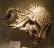 Merycoidodon gracilis skeleton