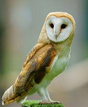 Tyto alba - British Wildlife Centre, England