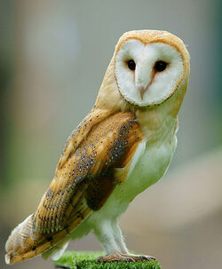 Tyto alba - British Wildlife Centre, England