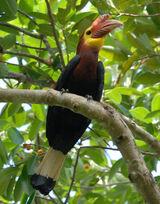 Walden's Hornbill