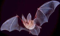 Bat (Corynorhinus townsendii)