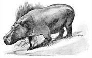 Dwarf Hippo illustration