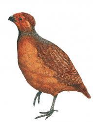 02 40 014 Odontophorus gujanensis m