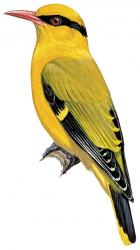 13 55 017 Oriolus tenuirostris m
