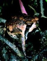 Breviceps bagginsi