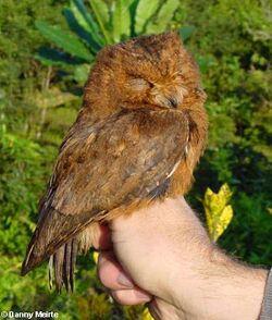 Otus moheliensis
