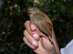 Thripophaga male copy