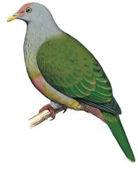 04 22 243 ptilinopus huttoni