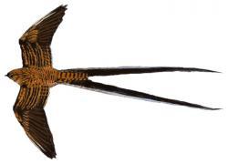 05 36 086 Uropsalis segmentata flying m