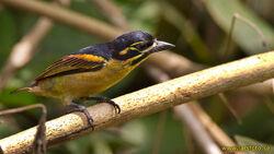 3834 Red-rumped Tinkerbird Pogoniulus atroflavus Sanaga River Cameroon 20120301 1 1600 copy