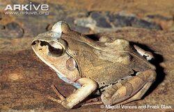Aglyptodactylus-laticeps