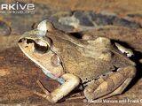 Aglyptodactylus laticeps
