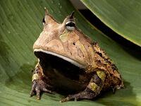 Amazonhornedfrog