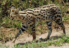 Serval full-body