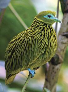 Golden-fruit-dove-ptilinopus-luteovirens male