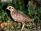 Jerdon's Courser