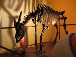 Short horned water buffalo skeleton