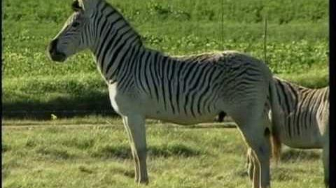 1226 99 Animal Conservation Quagga Recreation in South Africa