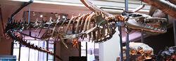 Basilosaurus cetoides