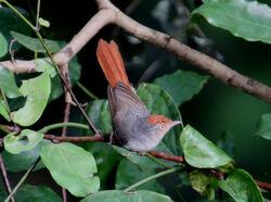 Chestnut-capped flycatcher web