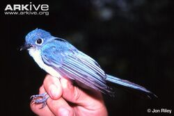 Caerulean-paradise-flycatcher-lateral-view