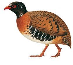 02 50 094 Arborophila rubrirostris birds showing variation in head pattern