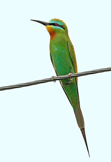Blue-cheeked Bee-eater Lesvos 2008 530W1448a