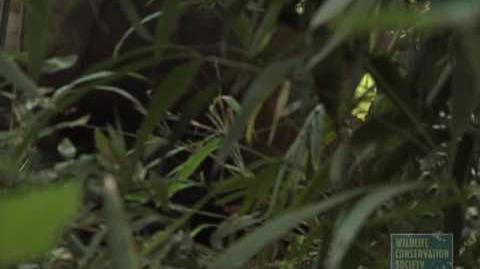 Okapi Calf at the Bronx Zoo-0