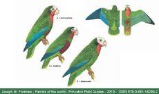 Sottospecie-amazona-leucocephala