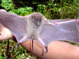 Long-tailed Fruit Bat