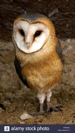 European-barn-owl-tyto-alba-guttata-APKAKA