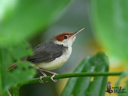 93576537.VtgWgkAF.rufoustailedtailorbird