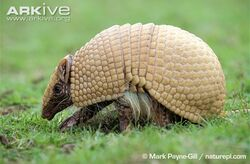 Brazilian-three-banded-armadillo-walking