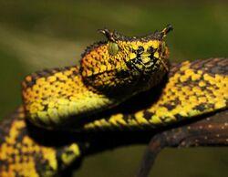 Matildas horned viper snake ss thg 120109 ssh