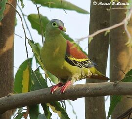 Thick billed green pigeon 030