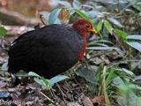 Crimson-headed Partridge