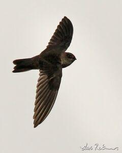 3052 Edible-nest Swiftlet Aerodramus fuciphagus Flores, Indonesia 20100806 1 600