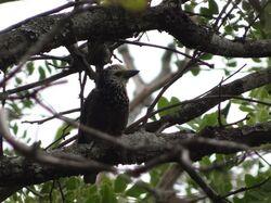 Anchietas barbet ssp katangae