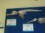 Ganges River Dolphin skeleton