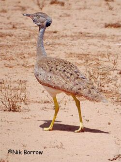 Little-Brown-Bustard-m-15