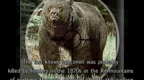The Atlas Brown Bear (Ursus arctos crowtheri) African brown bear