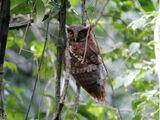 Maned Owl