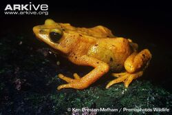 Red-nosed-stub-footed-toad