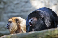 Two Howler Monkey