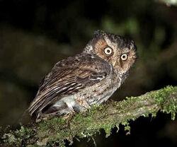 Mountain scops owl 1